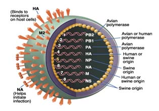 overview-of-h1n1-virus-things-you-must-know